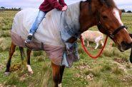 TB Gelding Approx 16.2HH on HorseYard.com.au