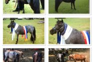 Miniature Horses on HorseYard.com.au
