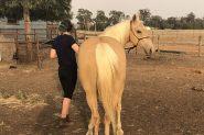 Palomino Mare on HorseYard.com.au