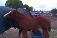 Flashy chestnut gelding on HorseYard.com.au