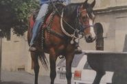 Clydesdale X QH gelding 15.2hh on HorseYard.com.au