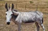 (Jelly Beans) Friendly Female Jerusalem Donkey - Great companion animal! on HorseYard.com.au