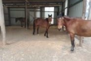 3 Brumby horses available - Free to good owner on HorseYard.com.au