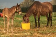 Bay Dun Quarter Horse Colt on HorseYard.com.au