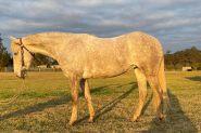 5yo ASH Esk on HorseYard.com.au