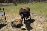 Shetland pony on HorseYard.com.au