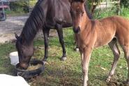 Black warmblood colt Dancier/De Niro lines on HorseYard.com.au