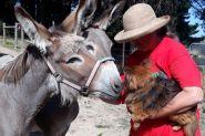 Pair of Australian Teamster Jenny Donkeys on HorseYard.com.au