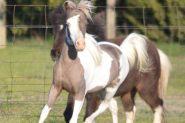 Miniature Horse Filly on HorseYard.com.au