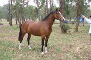 Anglo Arabian Mare on HorseYard.com.au