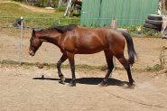 Trail horse 14hh stockhorse on HorseYard.com.au