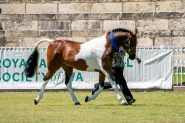 Arabec Azaar on HorseYard.com.au