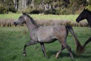 Kalody Park Silver Jude  on HorseYard.com.au