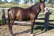 Arabian Warmblood Broodmare on HorseYard.com.au