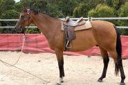 16.3h Anglo Gelding 9 yr old on HorseYard.com.au