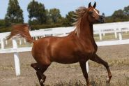 Arabian Filly For sale on HorseYard.com.au