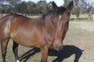 6yo stock horse geld  on HorseYard.com.au