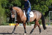 Bold, brave QH x Clydie Eventer on HorseYard.com.au