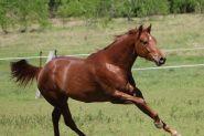 AAA MARE INTIMIDETTE on HorseYard.com.au