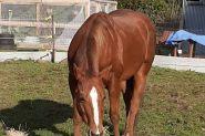 Register Quarter Horse mare by Tomcatin Around on HorseYard.com.au