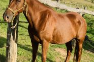 15hh Moresian QH cross  on HorseYard.com.au
