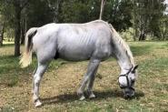 Arab x Percheron Gelding on HorseYard.com.au