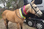 Buckskin SH x QH unregistered 15.2hh 8yo on HorseYard.com.au