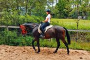 Solid Standardbred Gelding on HorseYard.com.au