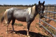 Gelding Welsh X ASH on HorseYard.com.au