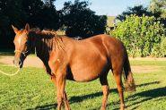 Registered ASH Mare PTIF on HorseYard.com.au