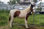 Weanling Filly on HorseYard.com.au