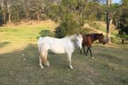 Beautiful companion pony on HorseYard.com.au