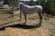 Pure bred Arabian mare on HorseYard.com.au