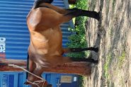 Stockhorse mare on HorseYard.com.au