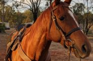 Smart quiet TB gelding on HorseYard.com.au