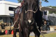 Black ASH Gelding on HorseYard.com.au