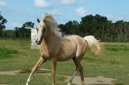 Palomino filly on HorseYard.com.au