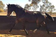 Purrealist x Commands x Encosta Mare on HorseYard.com.au