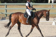 Sweet Natured Warmblood Gelding on HorseYard.com.au
