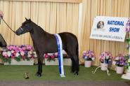 Miniature Horse Mare Full American on HorseYard.com.au