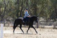 Stunning Black Andalusian x TB mare on HorseYard.com.au