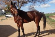 Mighty Jack - recently retired Standardbred on HorseYard.com.au