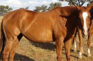 Outstanding broodmare on HorseYard.com.au
