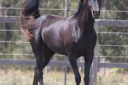 Tall Black Arabian Beauty on HorseYard.com.au