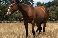 Beautiful 4yo ASHx on HorseYard.com.au