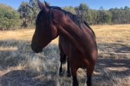 Handsome project standardbred on HorseYard.com.au
