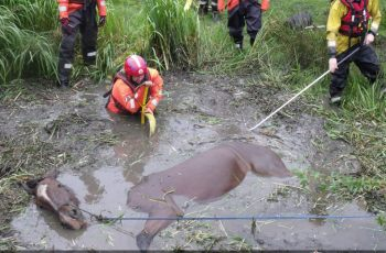 Shire Horse Saved From Watery Grave