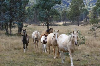 Victorian Brumby Running: An Insight