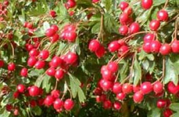 Horses With Arthritis Can Benefit From Eating Hawthorn