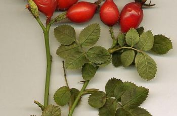 Rosehips - The Brilliant Anti-Oxidant Food For Horses